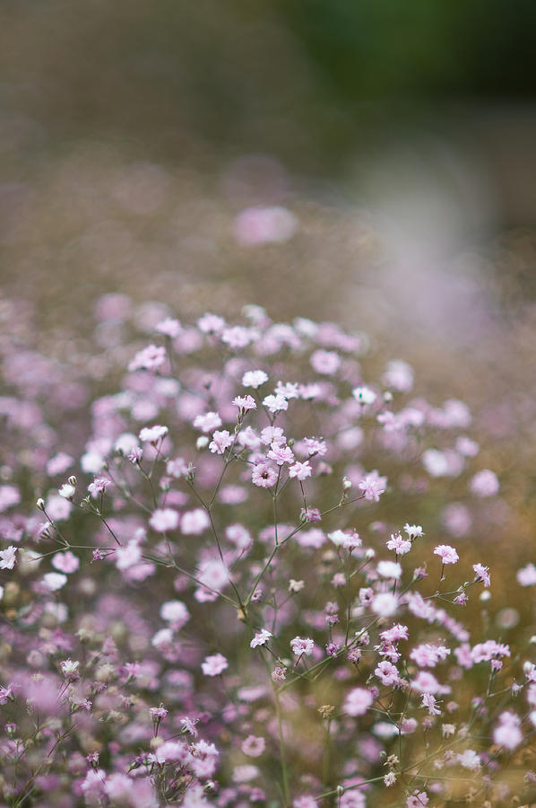 Baby's Breath Photograph - Babys Breath - 13820 by Marcio Faustino