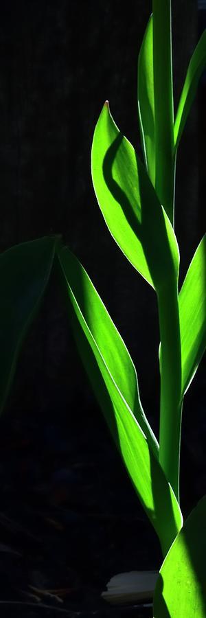 Backlit Tulip Stem Photograph