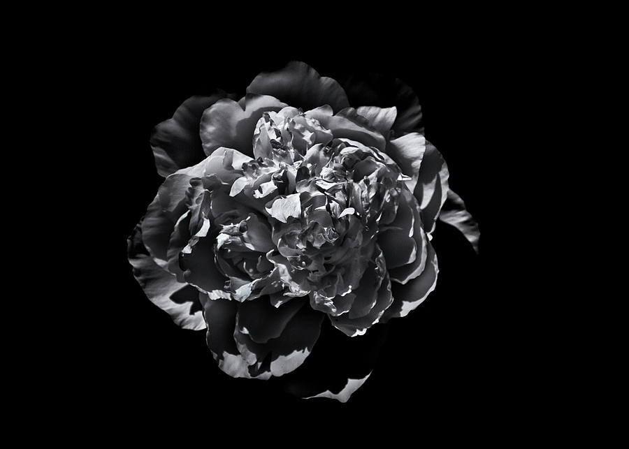 Backyard Flowers In Black And White 19 Photograph