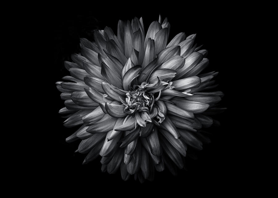 Backyard Flowers In Black And White 20 Photograph