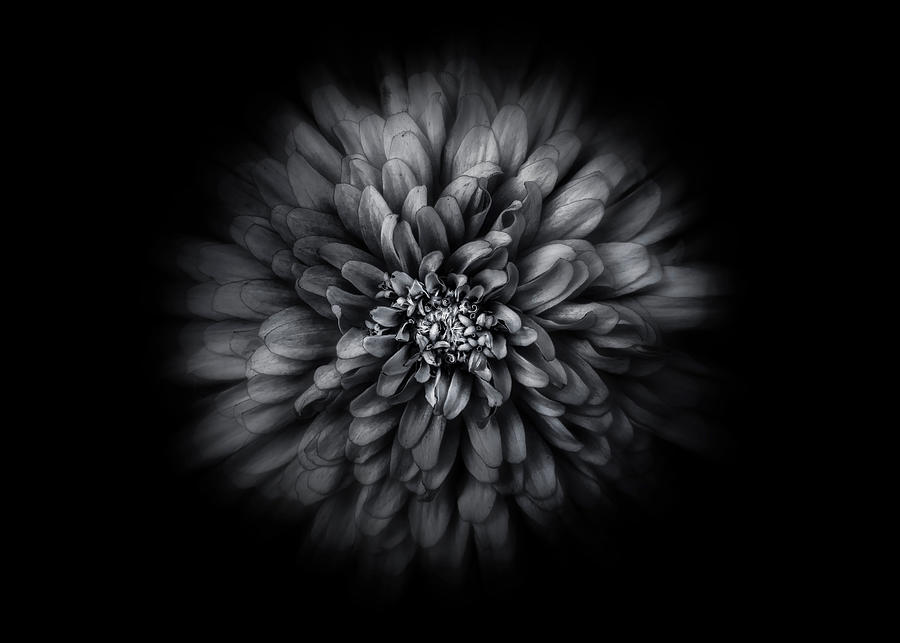 Backyard Flowers In Black And White 68 Flow Version Photograph