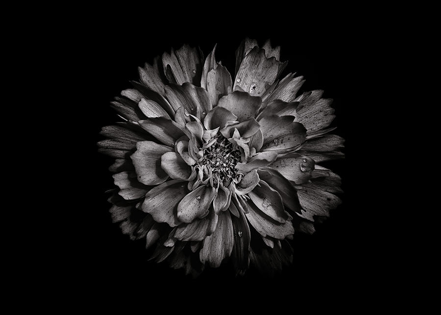 Backyard Flowers In Black And White 79 Photograph