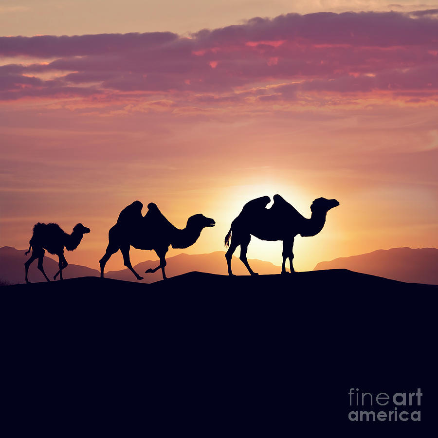 Bactrian camels in desert at sunset Photograph by Svetlana ...