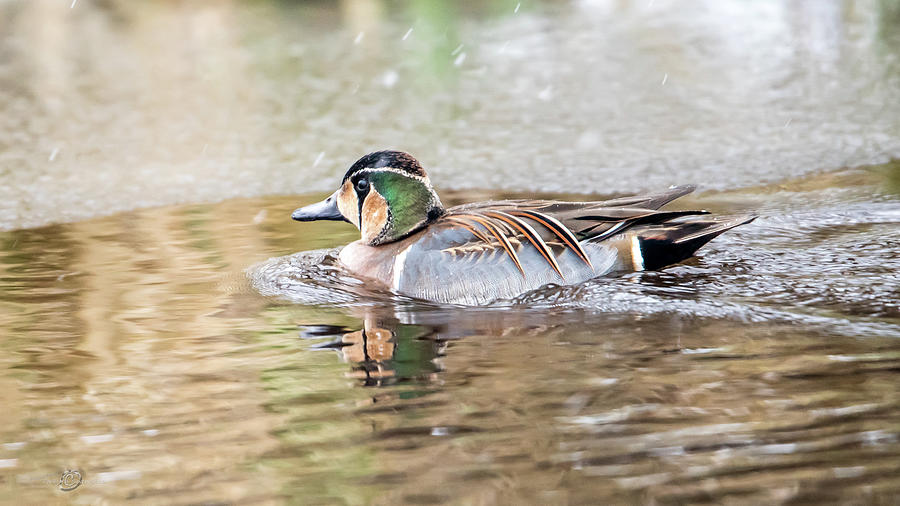 Baikal Teal, A Beautiful And Rare Visitor In Sweden Photograph