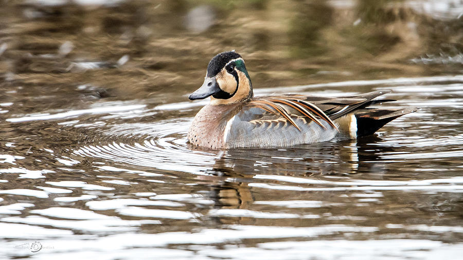Baikal Teal, A Swinning Beauty And Rare Visitor In Sweden Photograph