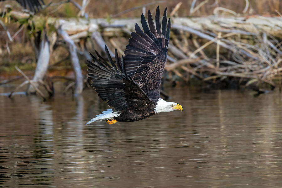 Bald Eagle Flying by by Mike Centioli