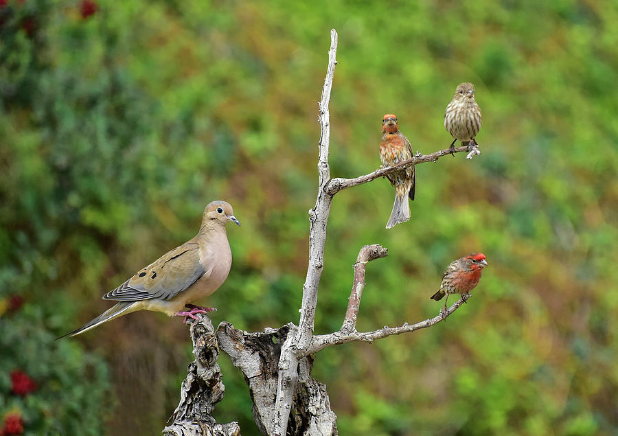 Balance - One Mourning Dove Equals Three House Finches Photograph