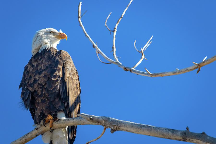 Bald Eagle 6 by Michael Chatt
