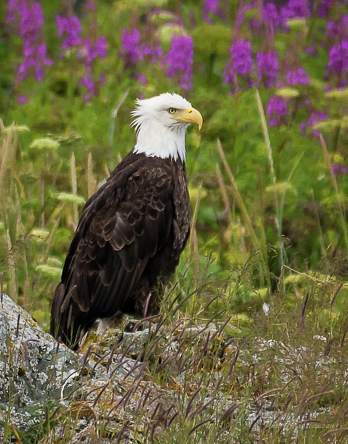 Bald Eagle Alaska by William Christiansen