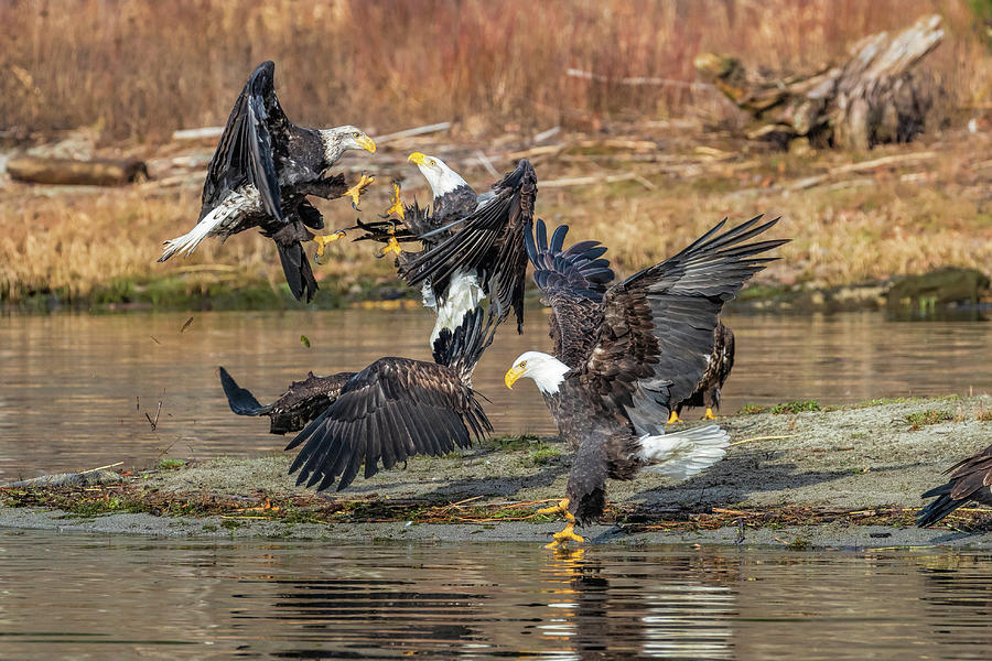 Bald Eagle Battle by Mike Centioli