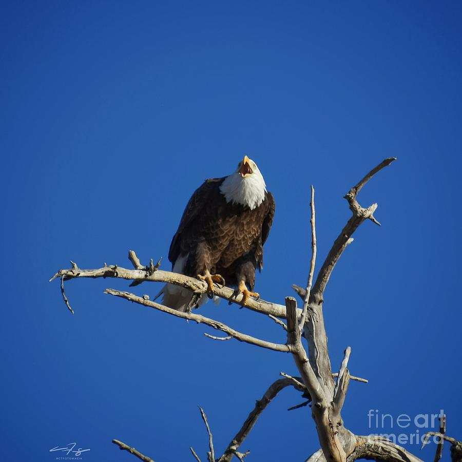 Bald Eagle Cries From The Skies Photograph