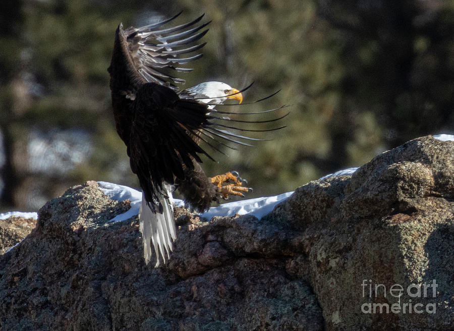 Bald Eagle Flying In Photograph