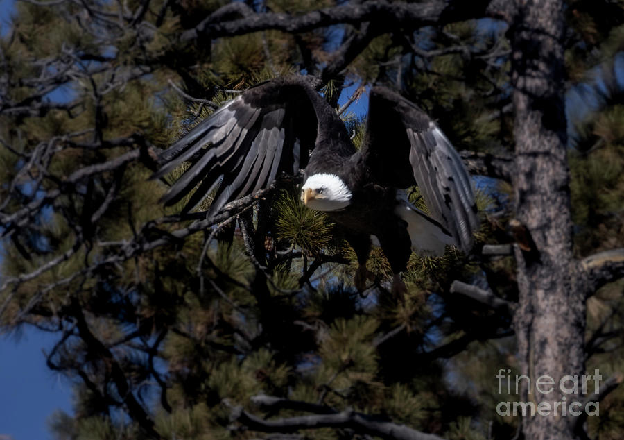 Bald Eagle Impressive Flight Photograph