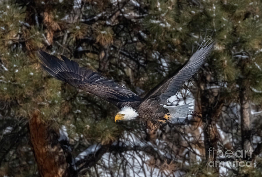 Bald Eagle In A Takeoff Photograph