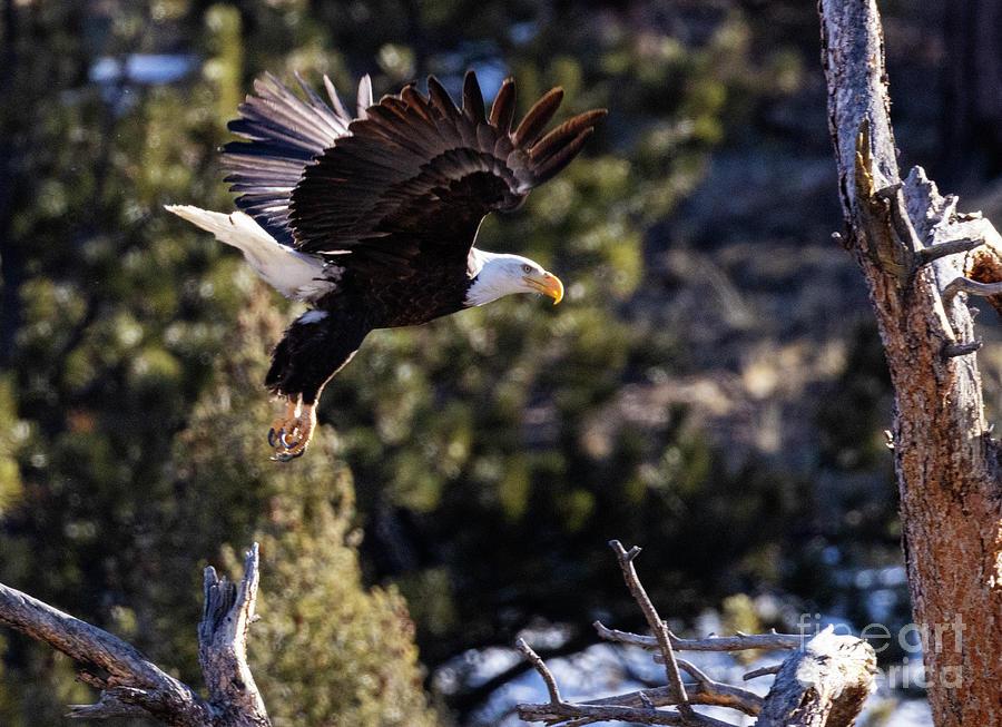 Bald Eagle Launch Photograph