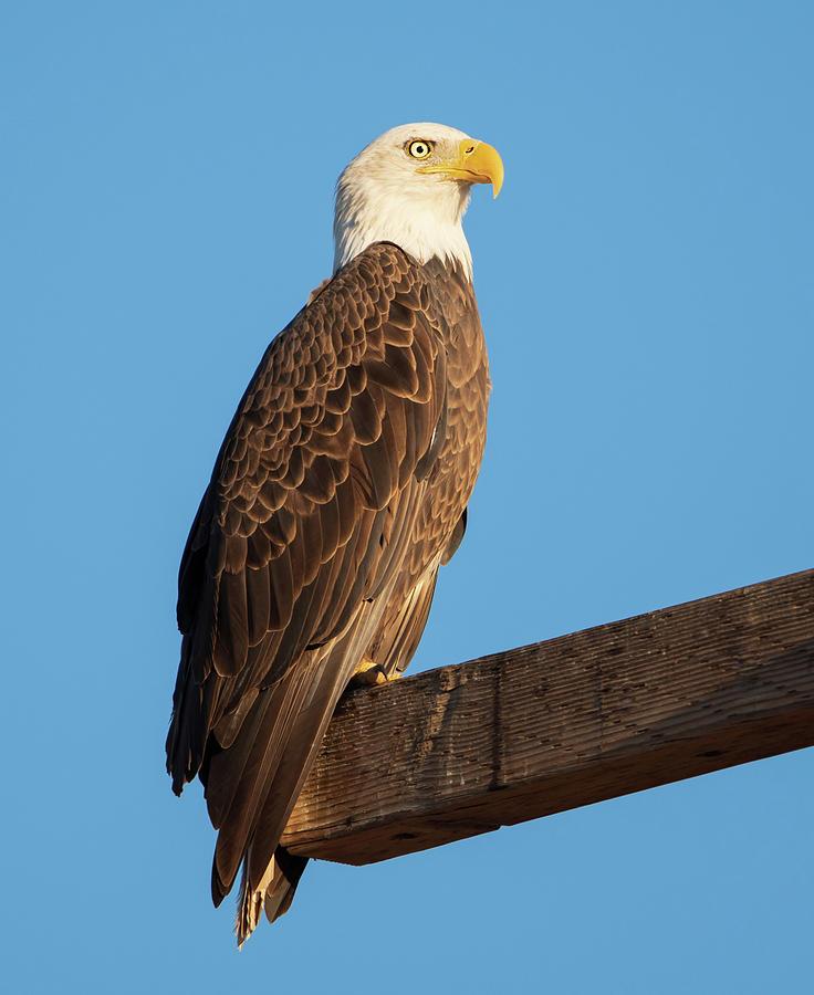 Bald Eagle Photograph