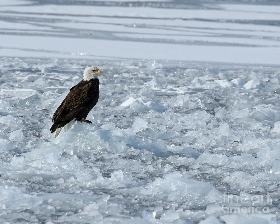 Bald Eagle On Ice Photograph