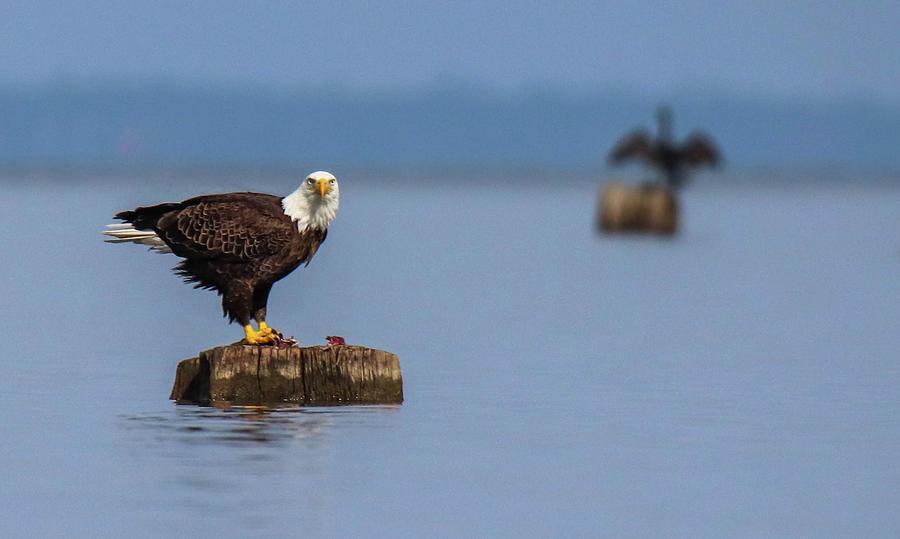 Bald Eagle Photograph - Bald Eagle On Stump by Cecil Bridges
