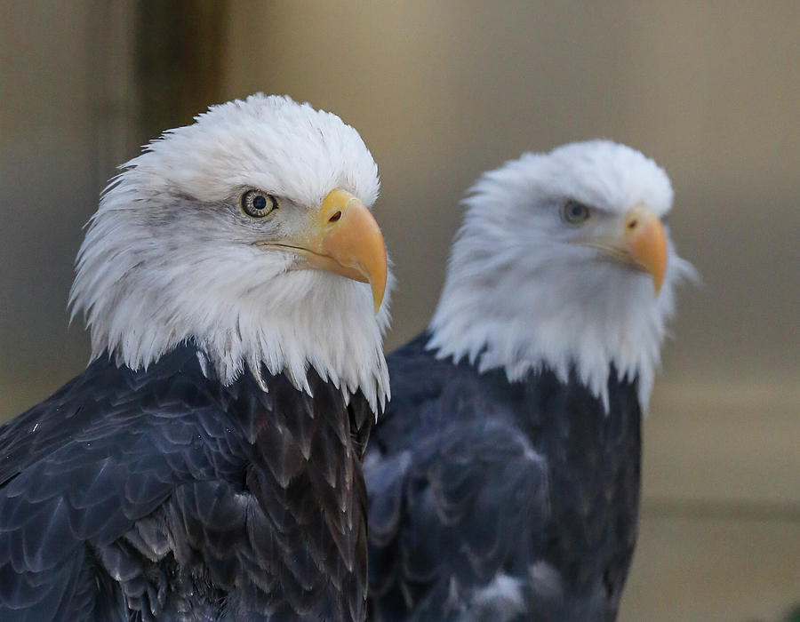 Bald Eagle Pair by Ronald Santini