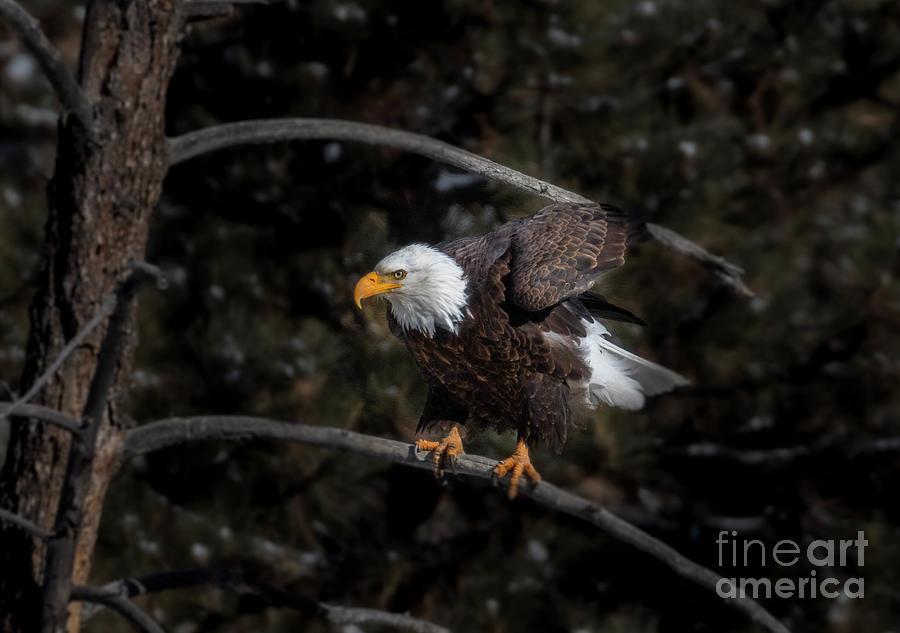 Bald Eagle Preparing A Takeoff Photograph