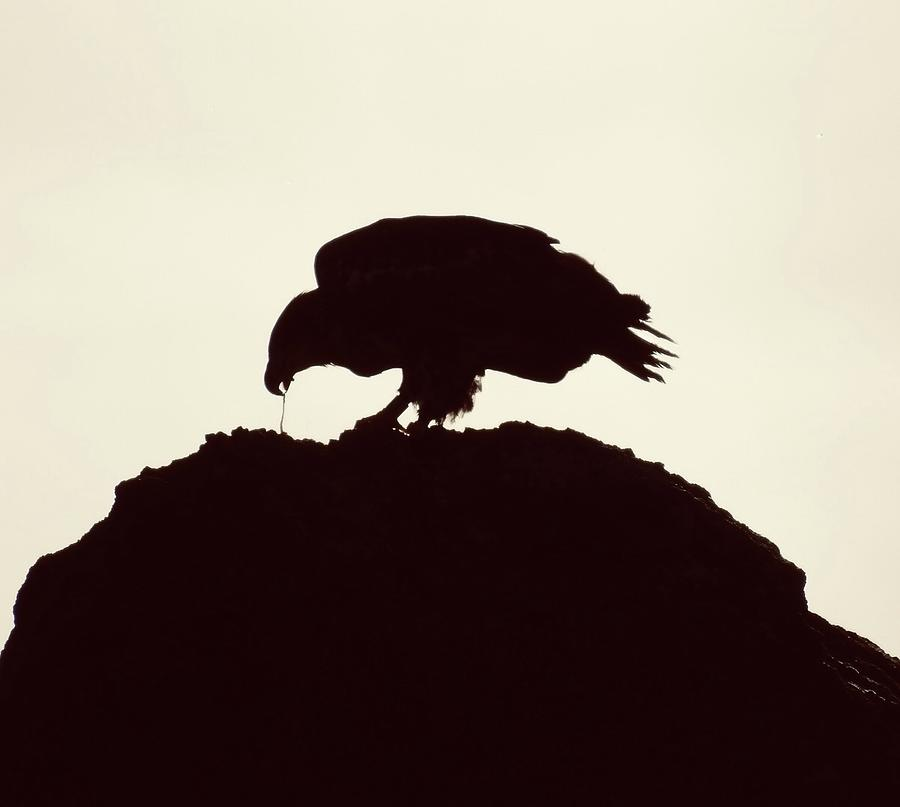 Bald Eagle Silhouette Photograph By Amber Bean Eagle flying eagle silhouette silhouette flying eagle flying silhouette symbol bird animal icon decoration emblem outline background decorative element wing fly falcon backdrop template wildlife. bald eagle silhouette by amber bean