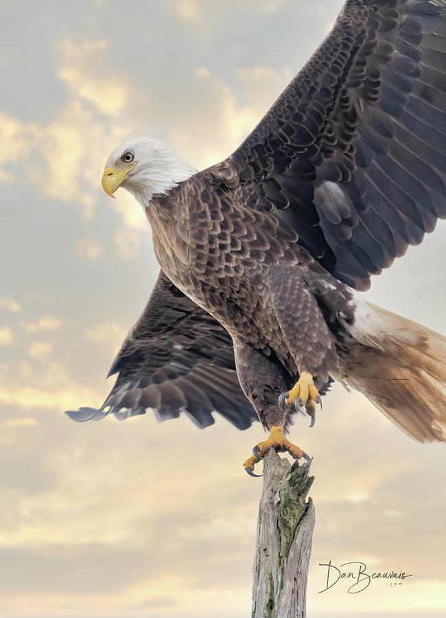 Bald Eagle Takeoff 1116 Photograph