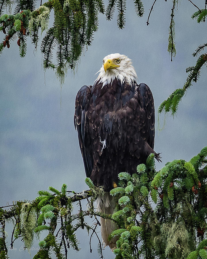 Bald Eagle Waiting to Fly by William Christiansen