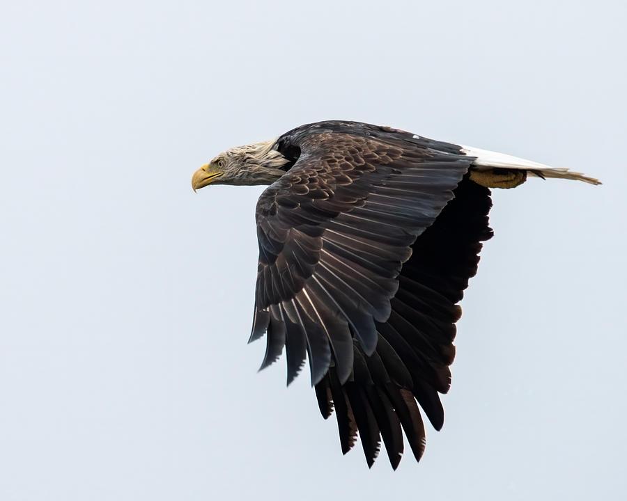 Bald Eagle Wet Photograph by Larry Maras