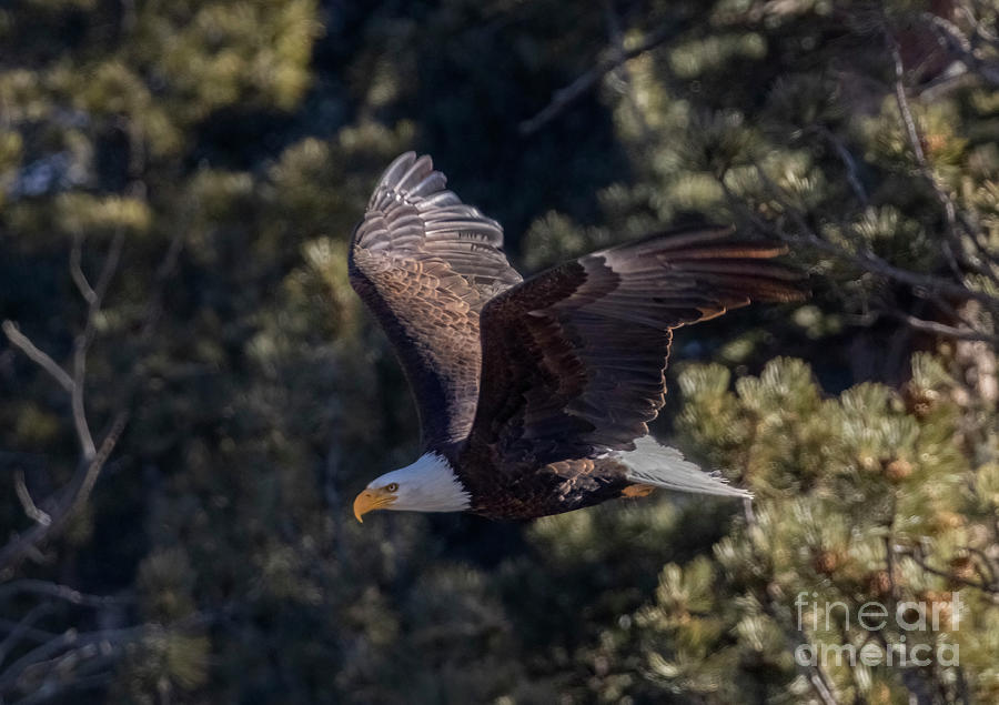 Bald Eagle Wings Up Photograph