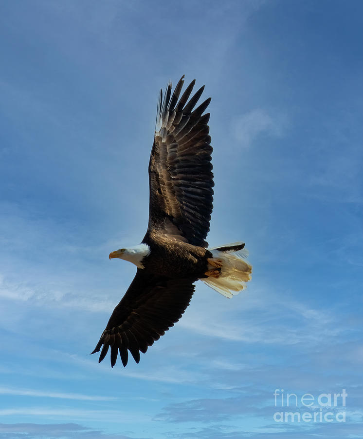 Bald Eagles And Blue Sky Photograph