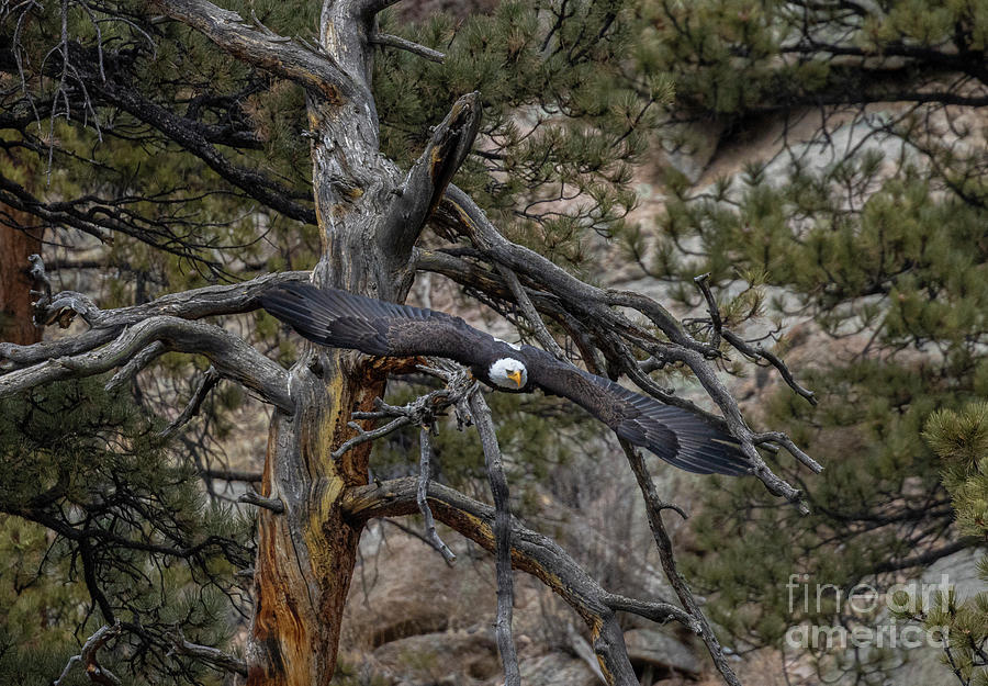 Bald Eagles Diving From Dead Tree Photograph