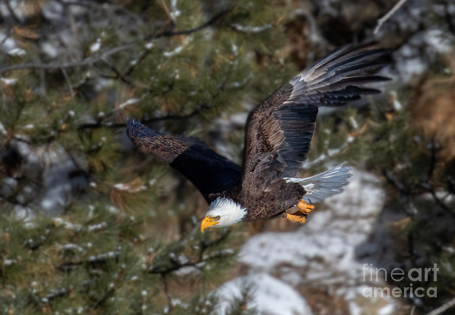 Bald Eagles In A Determined Dive Photograph