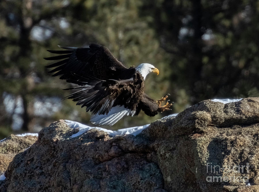 Bald Eagles Landing In Eleven Mile Canyon Photograph