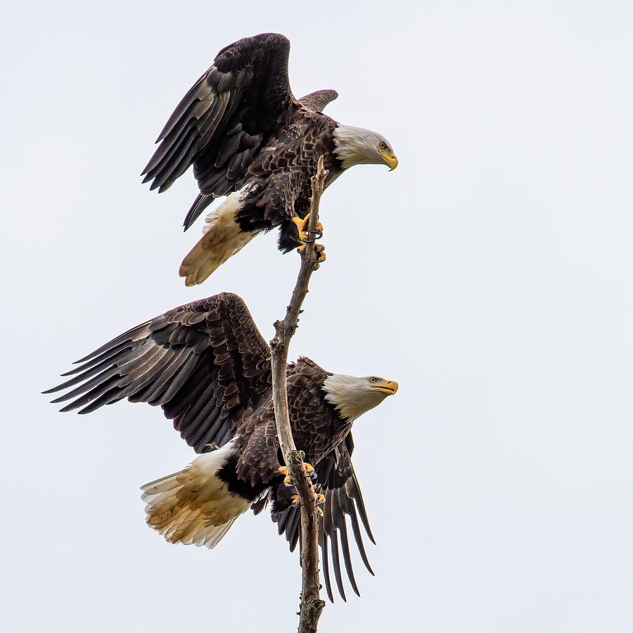 Bald Eagles Meeting Place 2 Photograph by Larry Maras