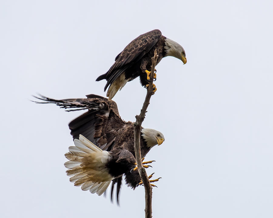 Bald Eagles Meeting Place Photograph by Larry Maras
