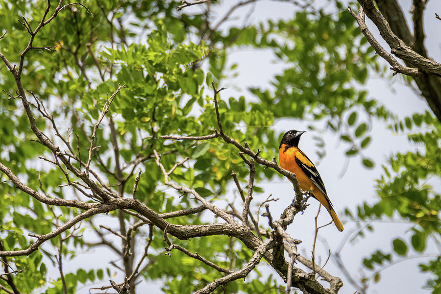 Baltimore Oriole In The Treetop Photograph