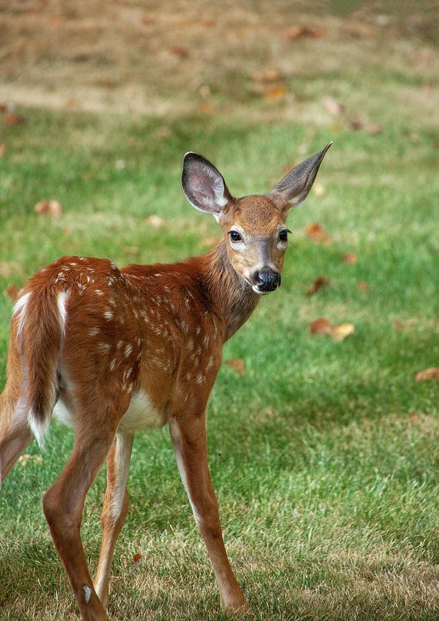 Bambi Looking Back Photograph
