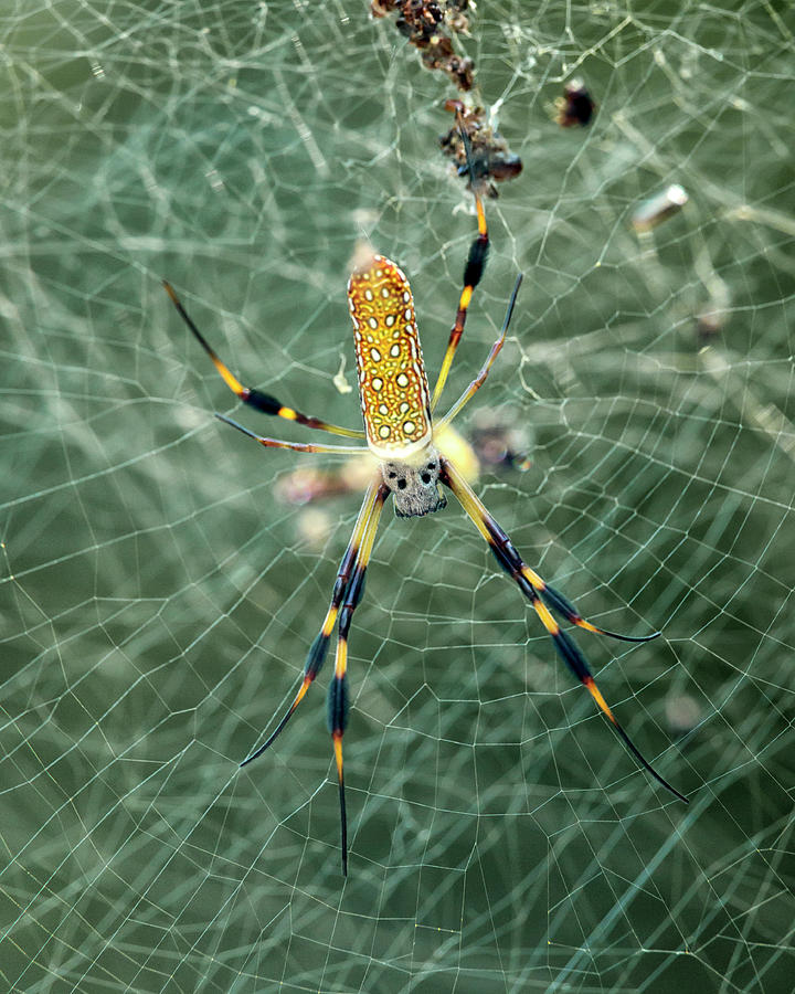 Banana Spider by Travis Rogers