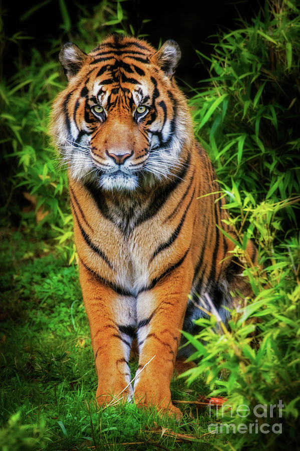 Bandar-Sumatran Tiger by Sonya Lang