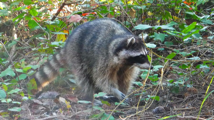 Raccoon Photograph - BandeeToes by YHWHY Vance
