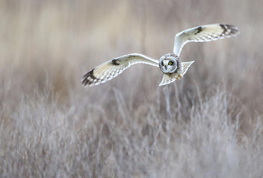 Banking Short-Eared Owl by Max Waugh