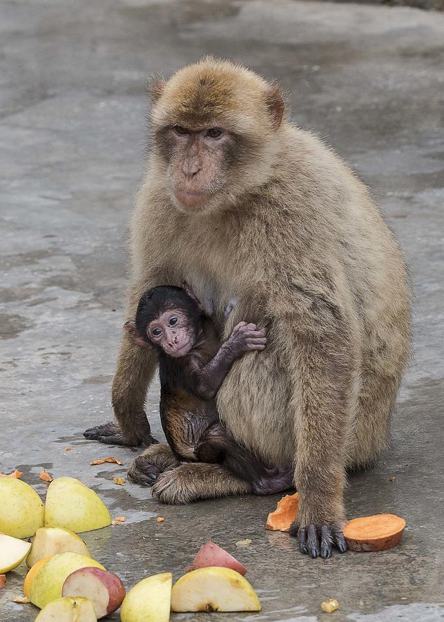 Barbary Macaque with her Baby Photograph by Elizabeth W. Kearley