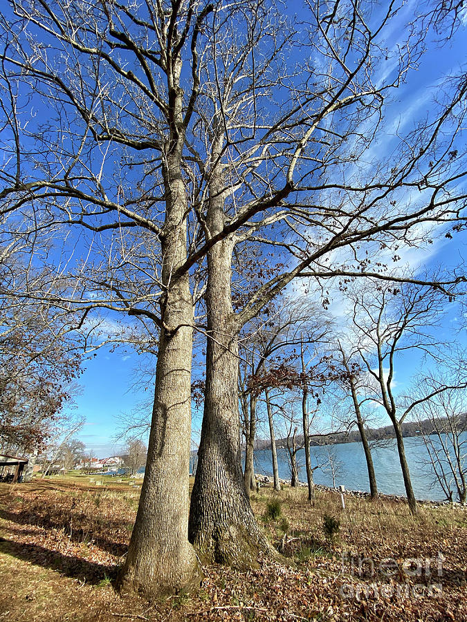 Bare Branches And Blue Sky Photograph