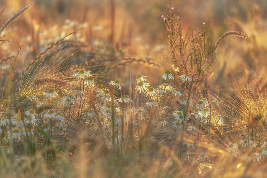 Barley And Daisies No 11 Photograph