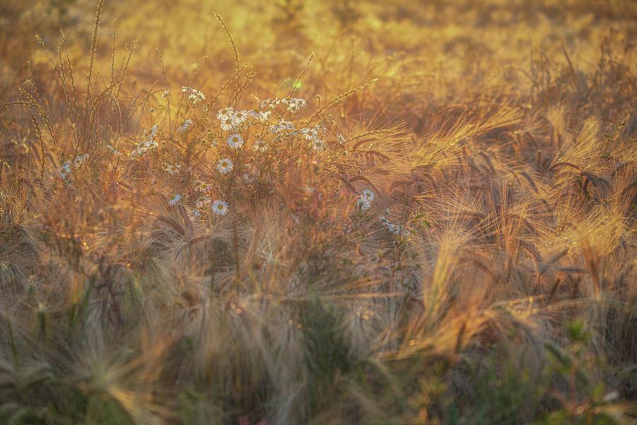Barley And Daisies No 12 Photograph