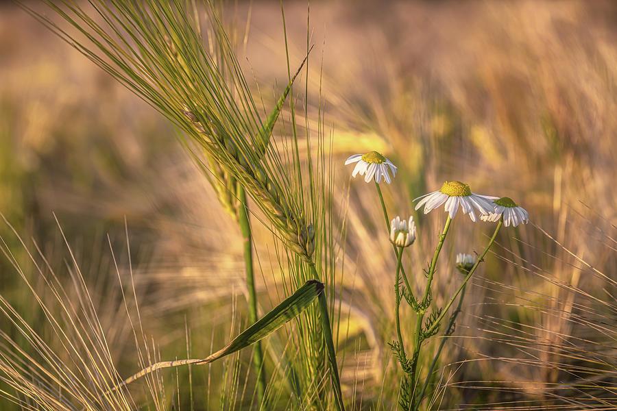 Barley And Daisies No 5 Photograph