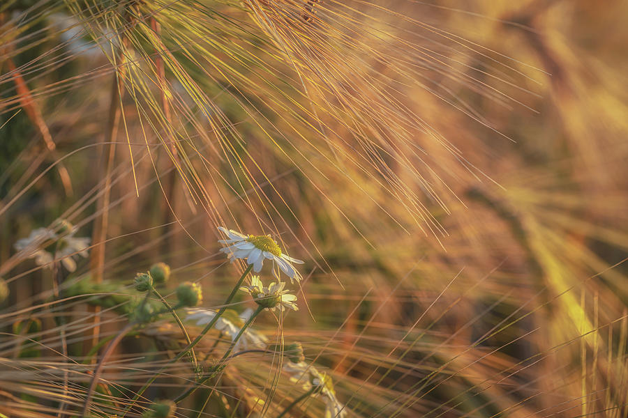 Barley And Daisies No 9 Photograph