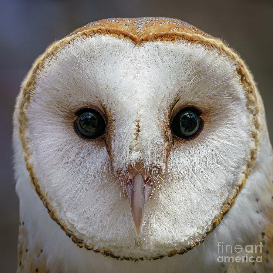 Barn Owl by Craig Shaknis