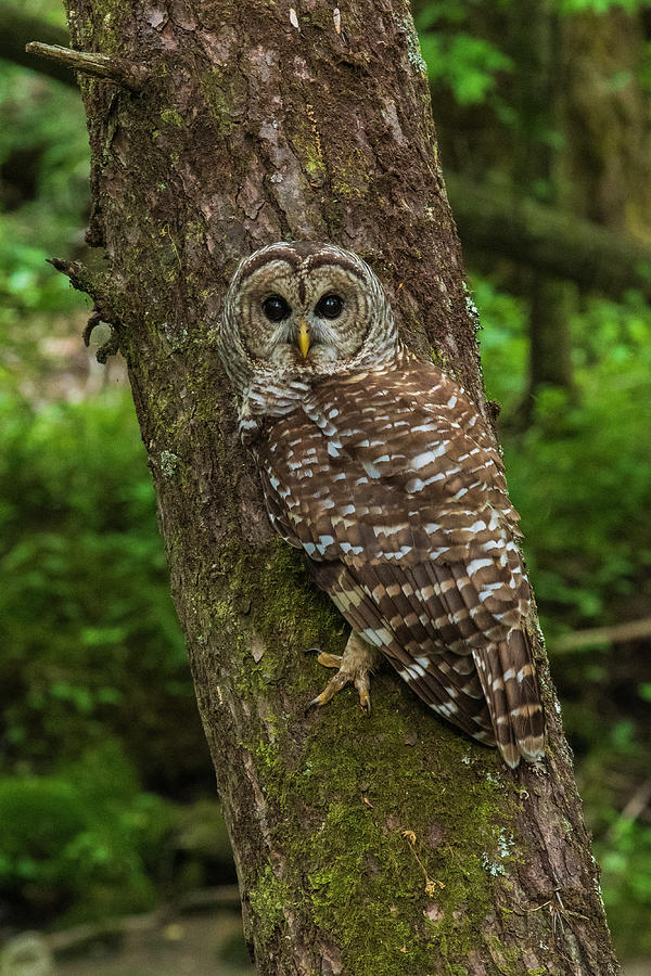 Great Smoky Mountains National Park Photograph - Barred Owl 1 by Melissa Southern