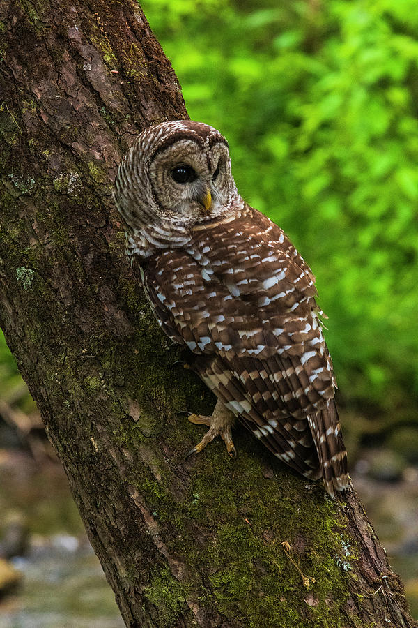 Great Smoky Mountains National Park Photograph - Barred Owl 2 by Melissa Southern